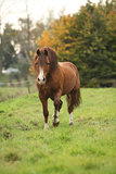 Chestnut welsh pony in autumn