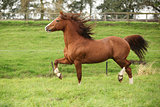 Nice chestnut welsh pony stallion running on pasturage