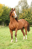 Chestnut welsh pony stallion in autumn