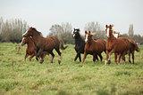 Batch of welsh ponnies running