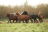 Batch of young welsh ponnies running
