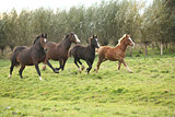 Welsh pony mares with foals running
