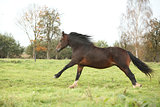 Brown welsh pony mare running