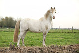 Nice white welsh pony
