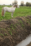 Nice white welsh pony next to water canal
