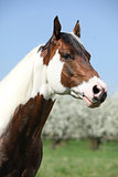 Portrait of gorgeous paint horse stallion in spring