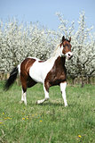Perfect paint horse stallion in front of flowering plum trees