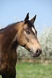 Portrait of gorgeous quarter horse with snake eye