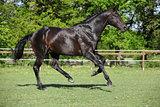 Nice black kwpn running on pasturage