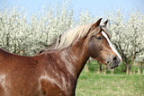 Portrait of beautiful draft horse in front of flowering trees
