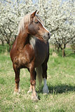 Nice brown draft horse in front of flowering plum trees