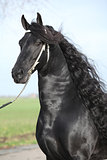 Portrait of gorgeous friesian stallion with perfect long hair