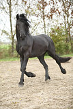 Nice friesian stallion running