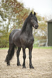 Nice friesian stallion looking at you