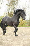 Nice friesian stallion running