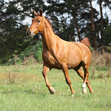 Chestnut warmblood running on green pasturage