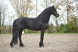 Nice friesian stallion with long hair
