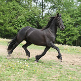 Friesian horse running on pasturage in summer