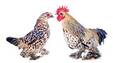 bantam rooster and chicken