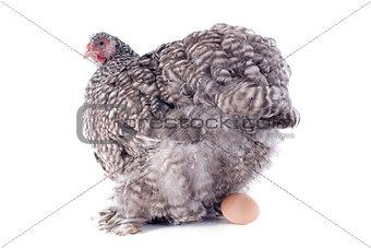 laying chicken