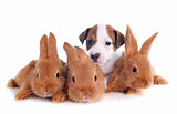 jack russel terrier and bunnies