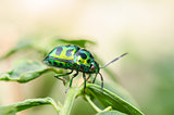 jewel beetle in green nature