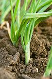 Spring onion in garden