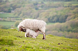 Spring lamb in green field landscape
