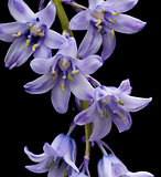 spanish bluebell hyacintoides hispanica