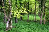 Vibrant lush green Spring forest landscape