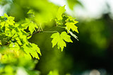 Acer leaves on blurred background