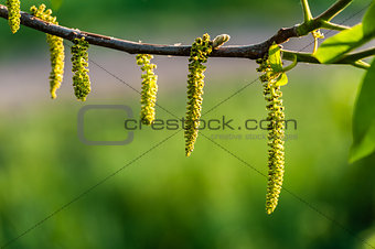 Catkin with Green Background