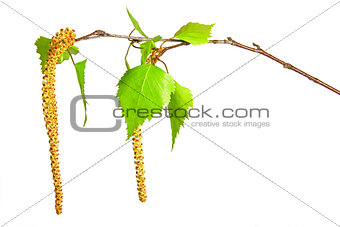Blooming birch twig