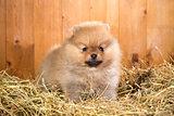 Pomeranian puppy on a straw