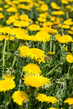 Yellow dandelions in meadow