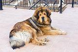 Lying Tibetan Mastiff