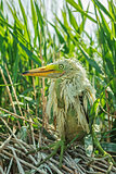 White Egret chick
