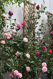 Rose screen with pink roses