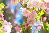 Blossom Tree Closeup