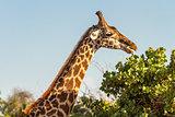 Giraffe (Giraffa camelopardalis) in Tsavo National Park, Kenya