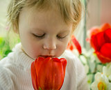 beautiful baby of red tulips