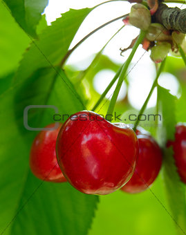 Sweet and Juicily Ripe Cherries on a Tree