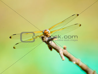 Dragonfly resting on the branch