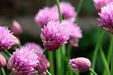 Pink chive flowers opening