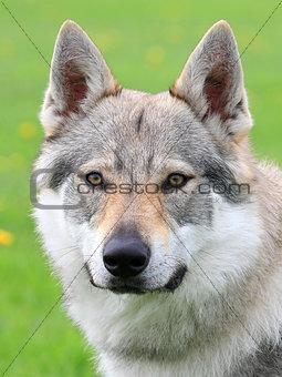 Portrait of Czechoslovakian Wolfdog