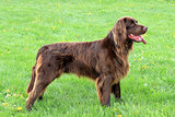 Portrait of German Short-haried Pointing Dog