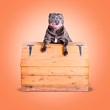 Cute purebred blue staffy dog posing on wooden box