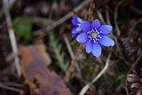 Violet forest flower