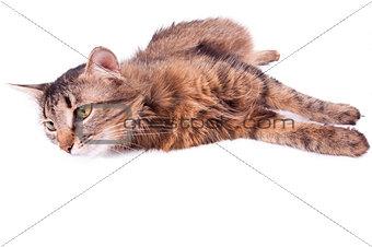 beautiful gray mixed-breed pregnant cat relaxing