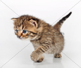 beautiful cute kitten walking